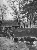 Farmers Rounding Up Bulls, Driving Them Through a Stream Premium Photographic Print