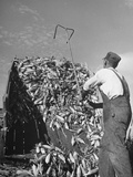 A Farmer Unloading a Truckful of Sweet Corn Premium Photographic Print