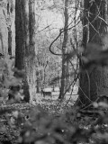 Deer Standing in the Woods During a Deer Hunt by the Bull Penn Hunting Club Premium Photographic Print