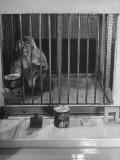Monkey Undergoing Experiments at Wisconsin University Premium Photographic Print