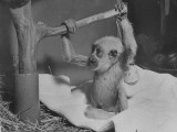 A Baby Monkey Playing in His Cage at the National Zoo Premium Photographic Print