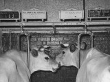 Close-Up of Cows in their Stalls before Being Milked Premium Photographic Print