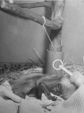 A Baby Monkey Sucking His Left Foot While Sleeping at the National Zoo Premium Photographic Print