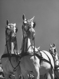 A View of the Army Remount Service's Parade of Horses Premium Photographic Print
