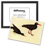 Audubon Black Oystercatcher Bird Art Poster Print Posters