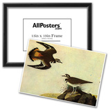 Audubon Killdeer Bird Art Poster Print Prints