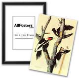 Audubon Ivory-Billed Woodpecker Bird Art Poster Print Posters