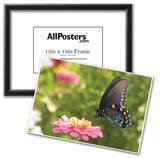 Green Swallowtail Butterfly Feeding On A Pink Zinnia In Sunny Summer Garden Prints