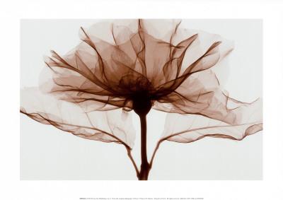 A Rose Prints by Steven N. Meyers