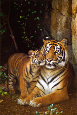 Tiger with Cub Prints