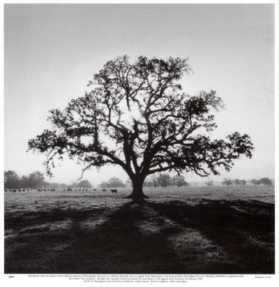 Oak Tree, Sunrise Kunstdruk