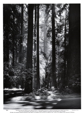 Redwoods, Founders Grove Kunsttryk