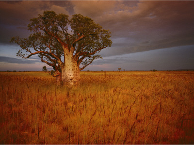 A Boab Tree Stands Solitary in the Bush Near Wyndham Photographic Print