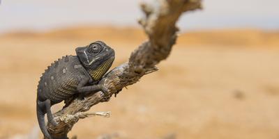 Namaqua Chameleon (Chamaeleo Namaquensis), Namib Desert, Swakopmund, Namibia Fotografie-Druck von Wim van den Heever