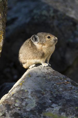 Pika (Ochotona Princeps) In Scree Rock Pile, Sheepeaters Cliff, Yellowstone National Park Photographic Print by Mary Mcdonald