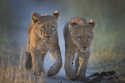 Two African Lion (Panthera Leo) Cubs Walking On A Path. Okavango Delta, Botswana Fotografie-Druck von Wim van den Heever