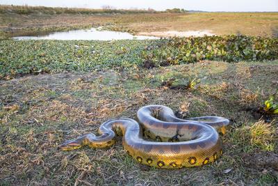 Giant Anaconda (Eunectes Murinus) Hato El Cedral, Llanos, Venezuela Photographic Print by Christophe Courteau