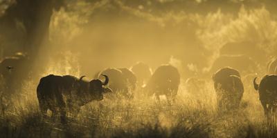 Herd Of African Buffalo (Syncerus Caffer) Silhouetted In Mist, Okavango Delta, Botswana Fotografie-Druck von Wim van den Heever