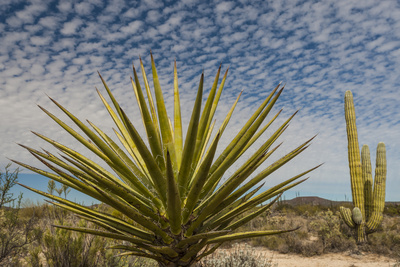 Mexico, Baja California. Yucca and Cardon Cactus with Clouds in the Desert of Baja Photographic Print by Judith Zimmerman