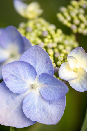 Massachusetts, Reading, Blue Lacecap Hydrangea Photographic Print by Lisa S. Engelbrecht
