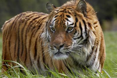 Siberian Tiger. Montana, Usa Photographic Print by Tim Fitzharris