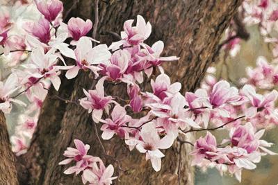 Yulan Magnolia Tree Blossoms, Louisville, Kentucky Photographic Print by Adam Jones