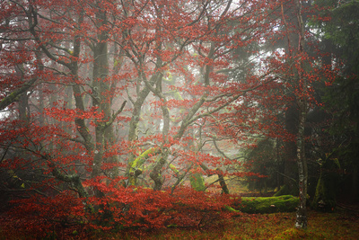 Foggy Woods Photographic Print by Philippe Sainte-Laudy
