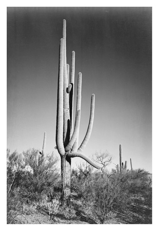 Full view of cactus and surrounding shrubs, In Saguaro National Monument, Arizona, ca. 1941-1942 ポスター : アンセル・アダムス