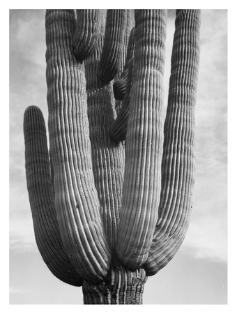 Detail of cactus Saguaros, Saguro National Monument, Arizona, ca. 1941-1942 ポスター : アンセル・アダムス