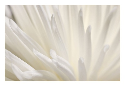 White Flower Prints by  PhotoINC Studio