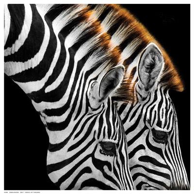 Zebras Grazing Posters