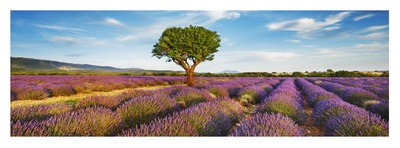 Lavender field and almond tree, Provence, France Giclee Print by Frank Krahmer