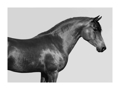Orpheus, Arab Horse Giclee Print by  Pangea Images