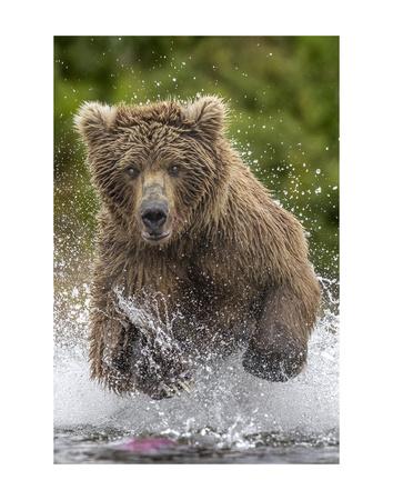 Alaska Bear Láminas por Art Wolfe