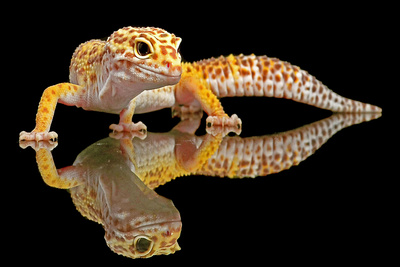 Leopard Gecko Photographic Print by Dikky Oesin