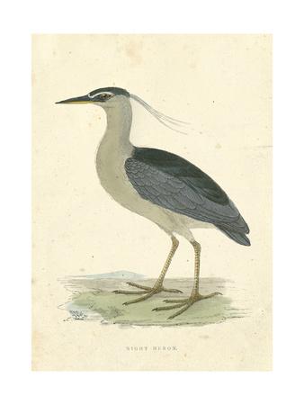 Vintage Night Heron Print by  Morris