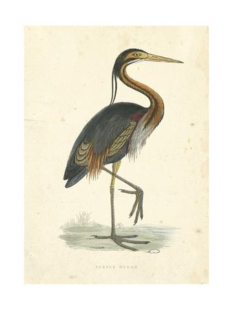 Vintage Purple Heron Prints by  Morris