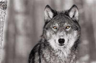 Pop of Color Wolf Posters van  Color Me Happy