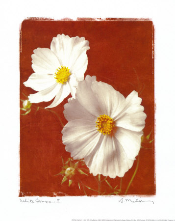 Cosmos blanc II - mini Reproduction d'art