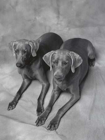 Two Panting Weimaraners Lying Side by Side Lmina fotogrfica