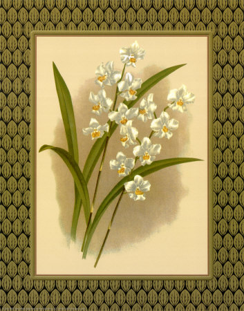 Classic Orchids IV Prints by Tara Wilde