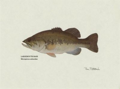 images of bass fish