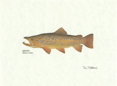 Brown Trout Art Print