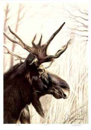 Moose Collectable Print by Robert Pow