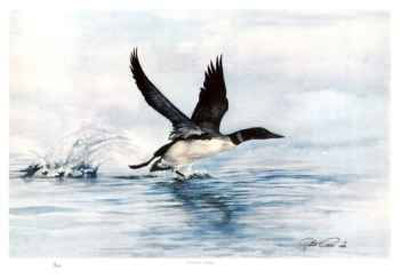 Common Loon Collectable Print by Robert Pow