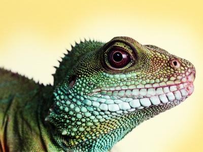Green Water Dragon Photographic Print