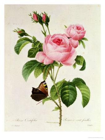 Rosa Centifolia Premium Giclee Print by Pierre-Joseph Redouté