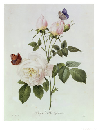 Rosa Bengale the Hymenes Premium Giclee Print by Pierre-Joseph Redouté