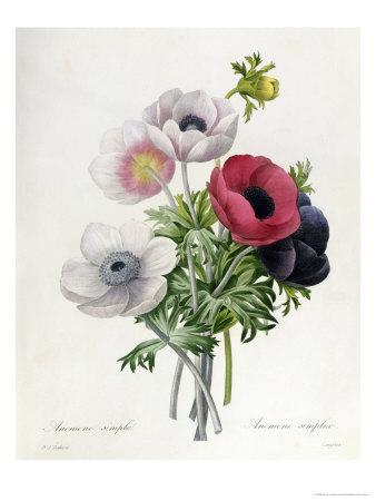 """Anemone: Simple, from """"Les Choix Des Plus Belles Fleurs"""" Premium Giclee Print by Pierre-Joseph Redouté"""