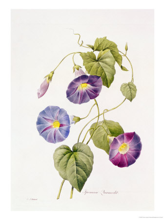 Ipomoea Violacea (Morning Glory) Giclee Print